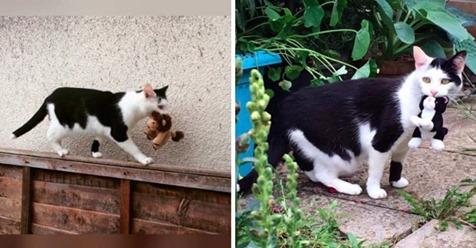 A Pixie, una hermosa gatita de esmoquin le encanta pasear a su jueguete de peluche