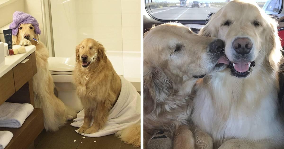 La amistad entre este golden retriever ciego y su perro guía derrite el corazón de la gente