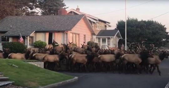 Enorme manada de uapití se reúne cerca de una casa en Oregon en una filmación estimulante
