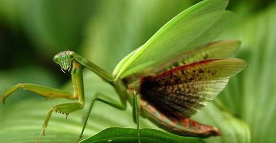 Los tipos de mantis religiosas más increíbles