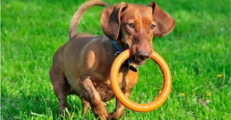 ¿Conoces este maravilloso perro de la raza teckel?