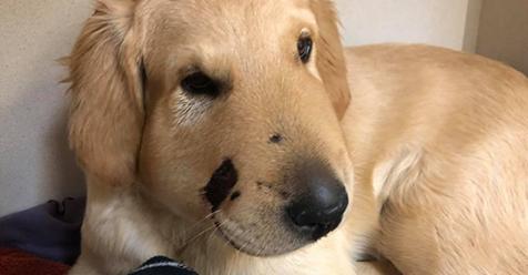 Todd a sido nombrado perro del año por arriesgar su vida para salvar a su dueña de la picadura de una serpiente