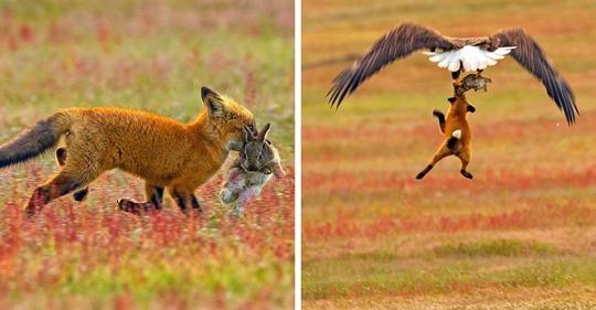 Este fotógrafo captó la increíble batalla entre un zorro y un águila por un conejo, y cada foto es más épica que la anterior