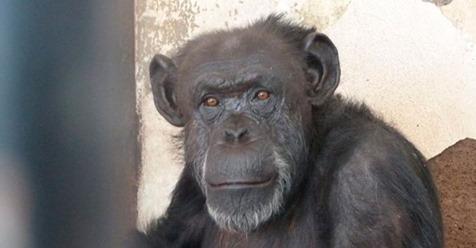 Cecilia, la primera chimpancé con derechos reconocidos