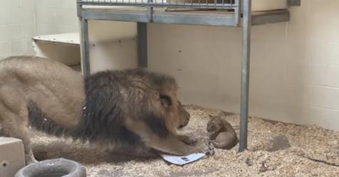 Papá León conoce a su cachorro por primera vez