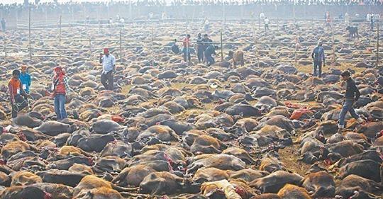 Alarma: todos en alerta para evitar la matanza de animales en el Festival Gadhimai