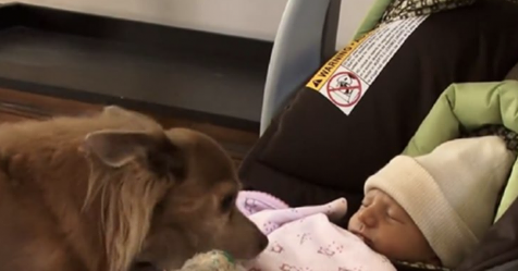 Chihuahua alborozado se encuentra por primera vez con su hermanita bebé