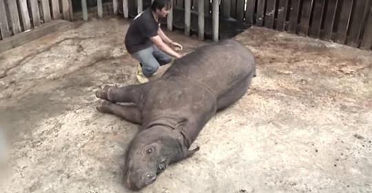 Fallece la última rinoceronte de Sumatra en Malasia y ahora están extintos oficialmente en el país
