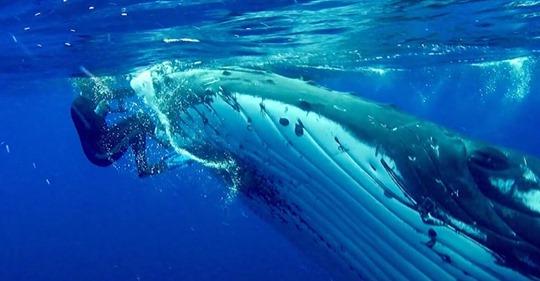 Una ballena salva a una buceadora de un tiburón al esconderla bajo su aleta