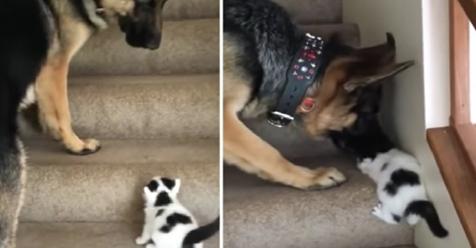Cariñoso pastor alemán ayuda a minino en problemas a subir las escaleras