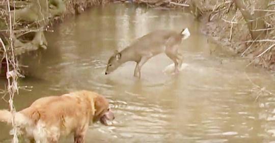 Las payasadas de una cierva para llamar la atención de un perro tiene más de 5 millones y medio de visualizaciones
