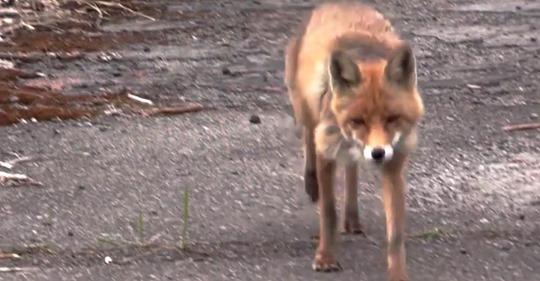 Video: Un zorro de Chernóbil sorprende a los reporteros con sus hábitos alimenticios