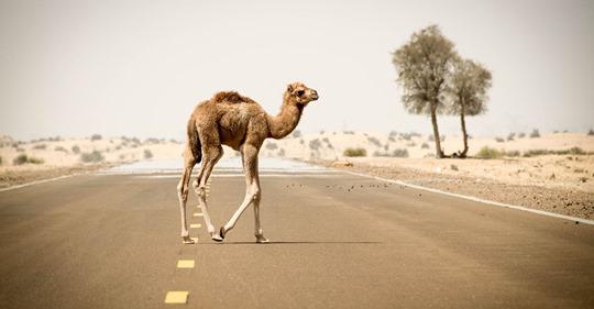 Decretan asesinar a balazos a 10.000 camellos en Australia por los incendios