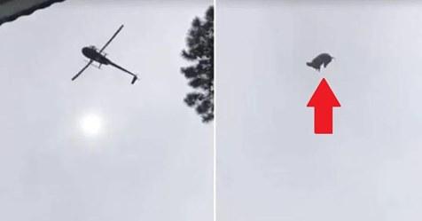 Indignación total: lanzamiento de un cerdo desde un helicóptero hacia una piscina