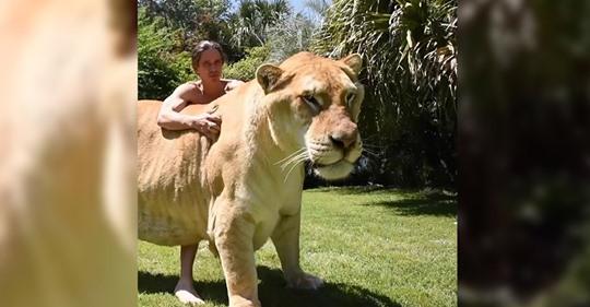El gato más grande del mundo: así es el ligre Apolo