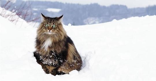 El gato del bosque noruego era la mascota preferida de los vikingos