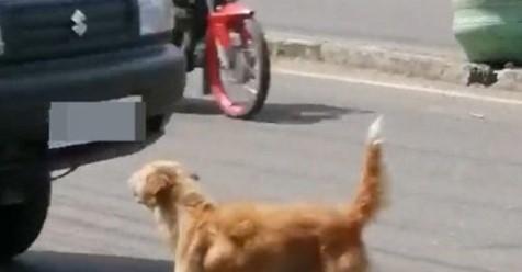 Mama corre peligro al pedir ayuda para su cachorrito que ha sido atropellado en la carretera