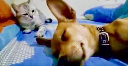 La reacción del gato cuando el perro se tira unos pedos tiene a todo Internet partiéndose de risa
