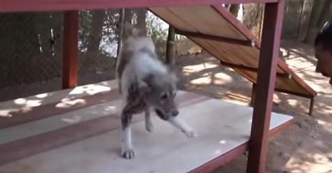 Perro hace un bailecito de felicidad después de que se le dice que está siendo adoptado después de 4 años en el refugio