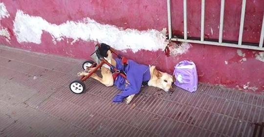 Un perro con parálisis es abandonado con una silla de ruedas rota y un paquete de pañales