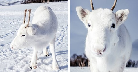 Fotógrafo captura imágenes de un reno bebé blanco extremadamente raro mientras camina en Noruega