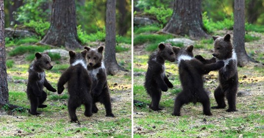 Hombre capta a tres ositos bailando en medio del bosque. Pensó que era su imaginación.