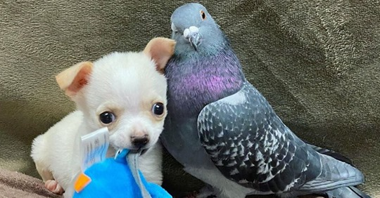 Paloma que no puede volar se convierte en 'la mejor amiga' de chihuahua que no puede caminar