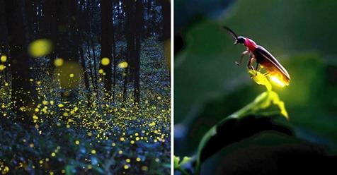 Adiós a los bellos campos de luciérnagas: están en peligro de extinción