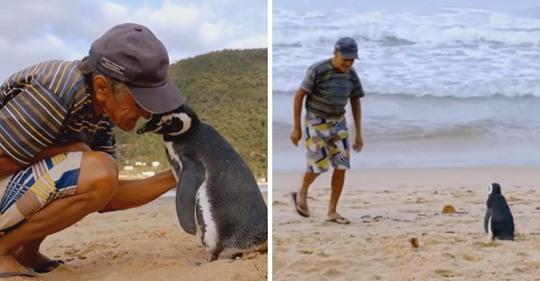 Pingüino nada unos 8.046 kilómetros por año solo para visitar al hombre que lo rescató