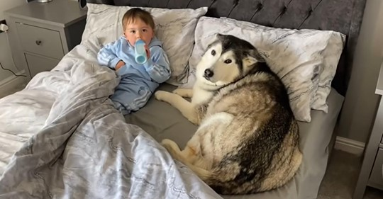 Terca husky se quedó dormida abrazando a niño pequeño tras negarse a salir de la cama