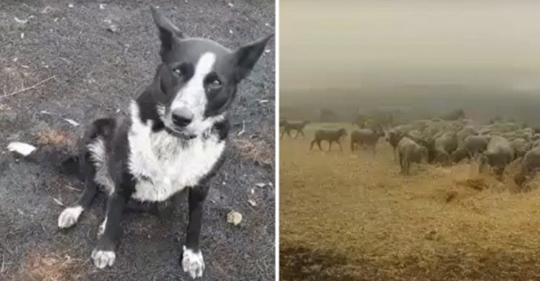 Perro pastor heroico salva a más de 220 ovejas de los incendios forestales australianos