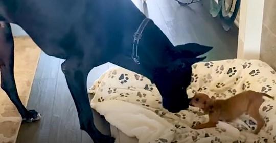 Una perrita asustada y abandonada se enamora de un gran danés
