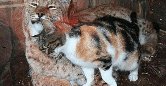 Gato callejero se inflitra en un zoológico y se hace amigo de un lince. ¡Mira!