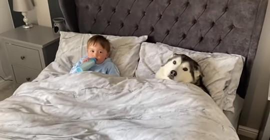Un husky espera a que su dueño se vaya para poder acurrucarse