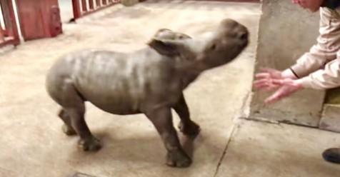 Una cría de rinoceronte se divierte en el zoológico jugando con su cuidador