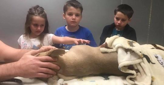 Un pitbull de 8 meses murió luchando contra una serpiente mortal para salvar a su familia