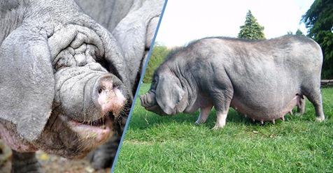 Los extraños y desconocidos cerdos Taihu