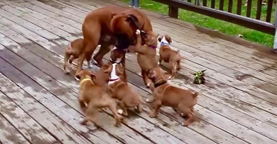 Este papá boxer es adorablemente atacado por sus cachorros