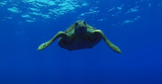 La tortuga boba coloniza las playas españolas