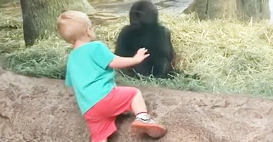 Un niño se acercó demasiado a un bebé gorila y sus padres se mueren de risa