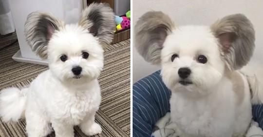 Una perrita tiene las orejas como las de Mickey Mouse y nos ha enamorado a todos