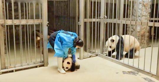 Una mamá panda regaña de una forma clásica a su hijo cuando lo regresan a la jaula