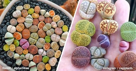 Lithops: La extraña planta que podrías confundir con una piedra