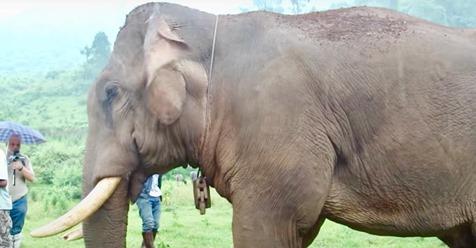 Remueven cadenas de un elefante después de toda una vida de trabajo