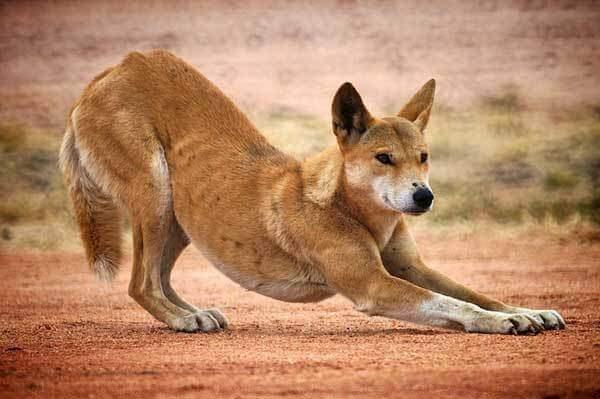 Todo sobre el Dingo