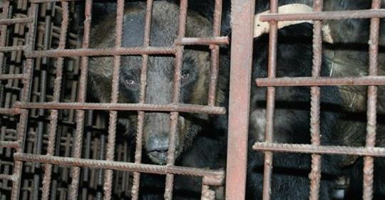 El rescate de un oso descubre una horrible mafia asiática que tortura animales