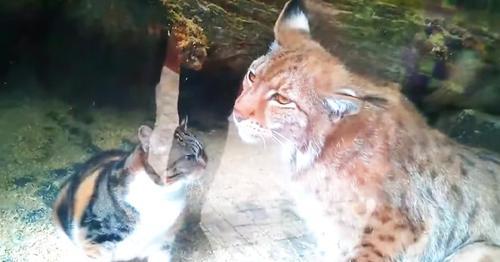 Una gata callejera se puso a vivir con un lince en un zoológico