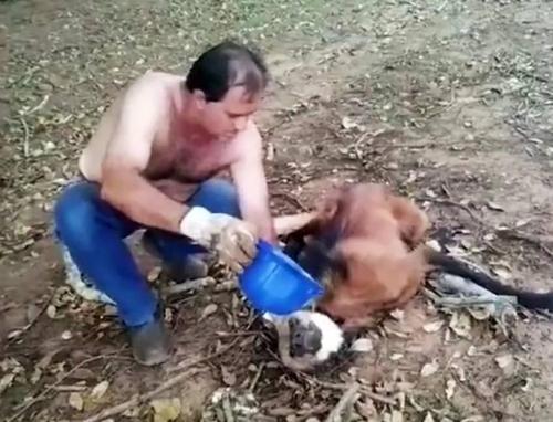 Conductor de un camión ayuda a un lobo de crin deshidratado que se echó debajo de su vehículo