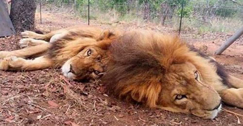 Cazadores furtivos entran a una reserva para matar a unos leones rescatados del circo