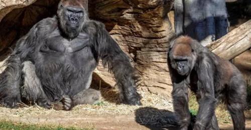 Varios gorilas del zoológico de San Diego se contagian de coronavirus en el que podría ser el primer caso de contagio a grandes simios